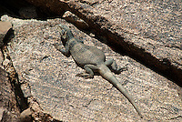 414050002 a wild chuckwalla sauromalus obesus basks on a volcanic rock near eureka dunes california
