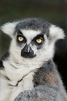 654000002 portrait of a ringtailed lemur lemur catta - animal is a wildlife rescue animal