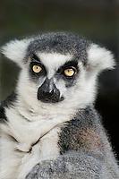 654000002 portrait of a ringtailed lemur lemur catta - animal is a wildlife rescue animal