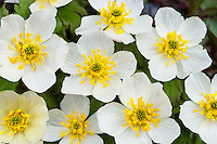 Mountain Marsh Marigold or White Marsh-marigold (Caltha leptosepala).  One of the first alpine/subalpine wildflowers to bloom after the snow recedes.  Canadian Rockies, June.