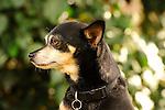 Carlos, Chihuahua mix dog.