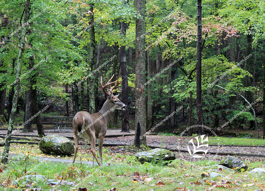 Stock photo: A deer in the forest of the great smoky mountain national park in fall.