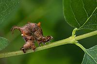 Fliederspanner, Flieder-Spanner, Raupe frisst an Schneebeere, Apeira syringaria, Hygrochroa syringaria, Pericallia syringaria, lilac beauty, caterpillar, l'Ennomos du lilas, Spanner, Geometridae, looper, loopers, geometer moths, geometer moth