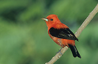 Scarlet Tanager, Piranga olivacea, male, South Padre Island, Texas, USA