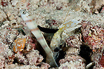 Steinitz' shrimp goby (Amblyeleotris steinitzi) lives in symbiosis with a shrimp who digs a burrow where the goby watches out for predators. But in this case, there is an additional player involved: a parasitic nudibranch (Gymnodoris nigricolor) munching away on the dorsal fin of the goby.