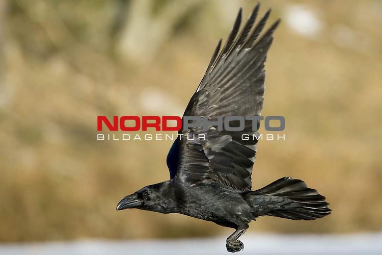 Kolkrabe (Corvus corax) fliegend, Eis, Winter, MŁritz Nationalpark, Rabenvogel, im Flug<br /> <br /> Foto: nordphoto *** Local Caption *** Original Naturfoto - hŲhere AuflŲsung auf Anfrage - Dig. Foto