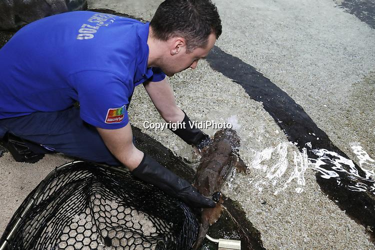 Foto: VidiPhoto<br /> <br /> ARNHEM &ndash; Burgers&rsquo; Zoon in Arnhem is sinds maandag twee tapijthaaien rijker. De vissen, ook wel wobbegongs genoemd, zijn afkomstig uit een aquarium in het Duitse Leipzig dat op dit moment verbouwd wordt. De haaien werden maandagmorgen uitgezet in de lagune van Burgers&rsquo; Ocean. De Arnhemse dierentuin is het enige Nederlandse park dat tapijthaaien heeft. De dieren zijn maar weinig te zien in Europese aquariums omdat ze &ldquo;apart gedrag vertonen&rdquo; en lastig in leven kunnen worden gehouden. Volgens bioloog Max Janse van Burgers&rsquo; Zoo zijn het &ldquo;luie eters.&rdquo; Ze wachten op de bodem tot er een prooi langs zwemt en komen dan pas in beweging. Daarom worden ze dagelijks met een stok gevoerd. De bodemhaaien kunnen 1.20 meter lang worden en zijn &lsquo;eierlevendbarend&rsquo;. Dat wil zeggen dat ze eieren in hun eigen lichaam leggen. Daarna volgt bevruchting, waarna de jongen levend gebaard worden. Burger&rsquo;s Ocean telt nu zes verschillende haaiensoorten.