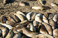 The Piedras Blancas Elephant Seal Rookery. San Simeon, California.