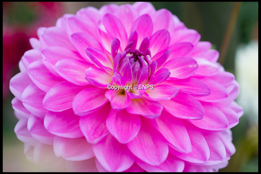 BNPS.co.uk (01202 558833)<br /> Pic: LauraDale/BNPS<br /> <br /> A lovely garden of Dahlias.<br /> <br /> Garden plants could soon be on the menu in homes across Britain after a range of edible dahlias went on sale in a bid to revive a 500-year-old tradition.<br /> <br /> Growers have spent two years developing the edible dahlias after taking inspiration from the Aztecs, who would eat the bulbous roots of the common garden blooms for their taste and nutritional value.<br /> <br /> The trend for scoffing dahlias died out in the 1700s when the colourful flowers were brought to Europe and they became popular instead for their ornamental qualities.<br /> <br /> But now growers Lubera are urging amateur gardeners to plant their new range of edible dahlias so that when the flowers die out at the end of the summer they can eat what's left of the plant.