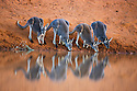 Australia,  NSW, Sturt National Park; red kangaroo females (Macropus rufus) drinking at waterhole; the red kangaroo population increased dramatically after the recent rains in the previous 3 years following 8 years of drought