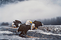 Bald Eagles feed on salmon carcasses along river in early winter.  Note:  This photo was taken using a remote camera with a 50mm lens.