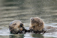Sea Otter (Enhydra lutris) mother feeding while pup shakes water off.