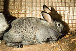 Chinchilla rabbit male