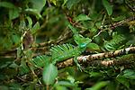 Basilisk lizard in Tortuguero National Park