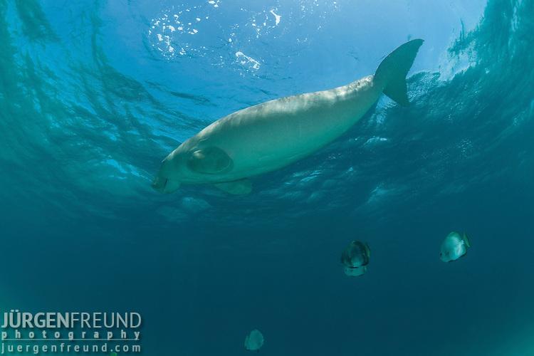 Dugong (Dugong dugon) surfacing to take a breath of air. Dimakya Island, Palawan, Philippines 18 April 2010