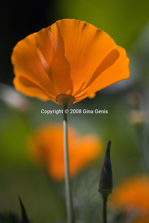 Macro image of a single wild poppy in a field