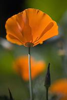 Macro image of a single wild poppy in a field