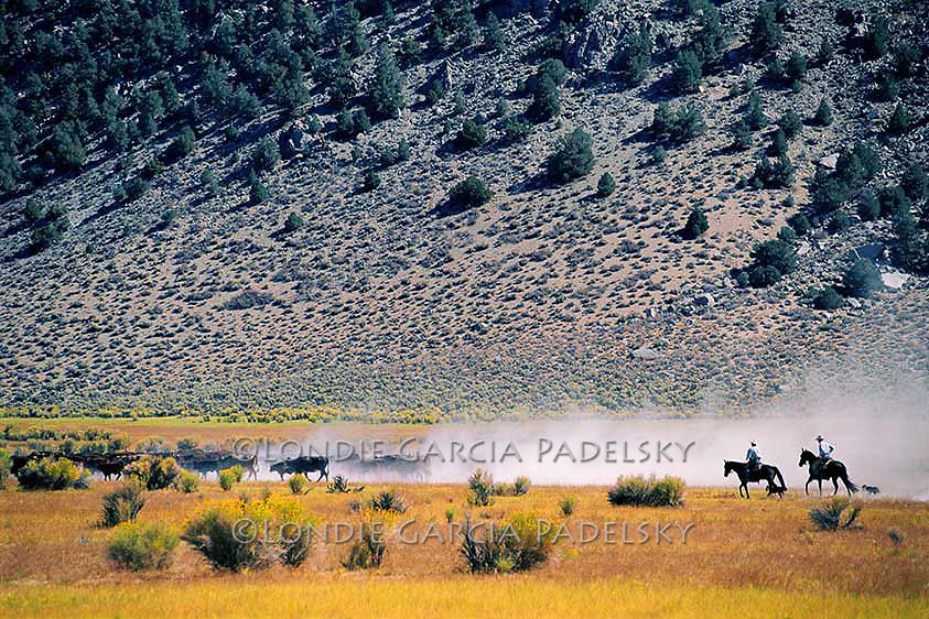 Cowboys herding cows in the Pizone Range, Eastern Sierra, California