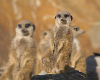 Germany, DEU, Gelsenkirchen, 2006-Nov-16: Meerkats (suricata suricatta) keeping watch in the Gelsenkirchen zoo.