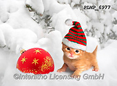 Marek, CHRISTMAS ANIMALS, WEIHNACHTEN TIERE, NAVIDAD ANIMALES, photos+++++,PLMP6977,#xa# ,kittens,cats