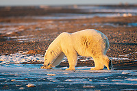 As the freeze up approaches, this Polar Bear (Ursus maritimus) carefully checks the thickness of the ice. Polar Bears have wide, huge paws that allow them to distribute their weight evenly across the ice.