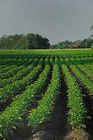 Rows of potatoes in  field.  Freising, Munich, Bavaria,  Germany.