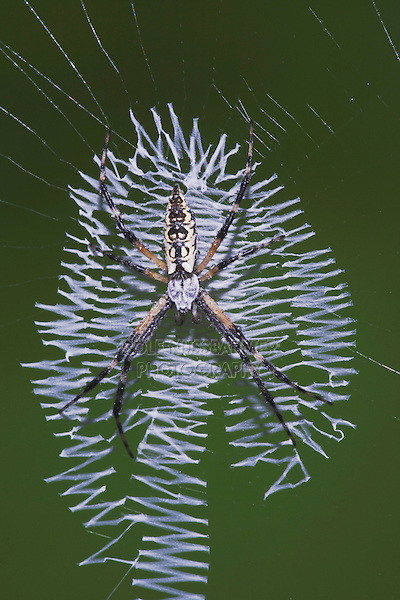 Yellow Garden Spider (Argiope aurantia), adult in web, Sinton, Corpus Christi, Coastal Bend, Texas, USA
