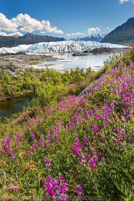 Eskimo potato blossoms near the Matanuska glacier in the Chugach mountains, southcentral, Alaska.
