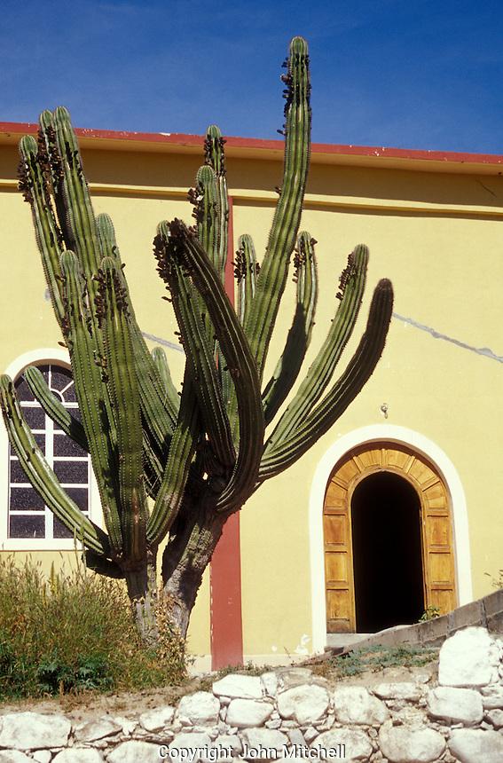 Giant cardon cactus in the Spanish colonial town of Todos Santos , Baja California Sur, Mexico