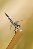 339900017 a wild female blue dasher pachydiplax longipennis perches on a dead stick in topock marsh near five mile landing havasu national wildlife refuge arizona united states