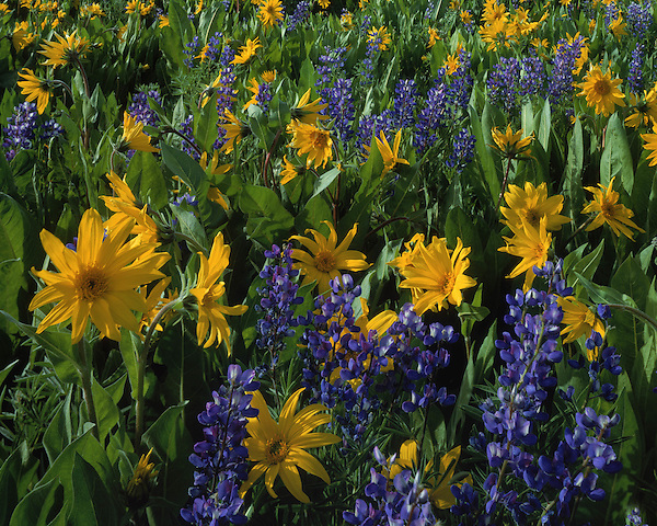 Natural pattern of Lupine and Sunflowers, Telluride, Colorado. John guides custom photo tours in the Sneffels Range and throughout Colorado.