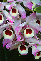 Dendrobium nobile, orchid species native to the highlands of South East Asia and the Himalayas, source of many colorful nobile hybrids
