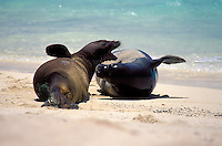 Hawaiian monk seals sparring on beach at Laysan I. Endangered Species