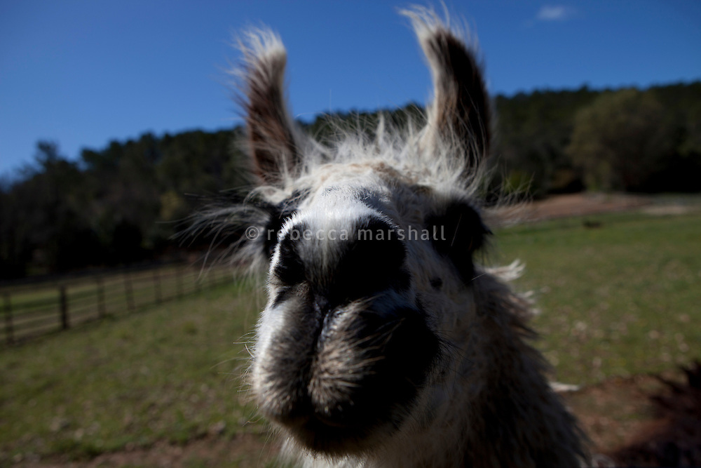 Alexi the llama poses for the photographer at Liisa Joronen's home in the Var, France, 11 April 2012