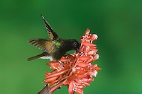 Black-bellied Hummingbird, Eupherusa nigriventris, male feeding on Flower of the Ginger plant family , Central Valley, Costa Rica, Central America