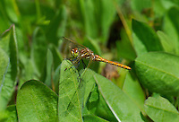 362770006 a wild male striped meadowhawk sympetrum pallipes perches on a wild plant nin dismal swamp in modoc county california
