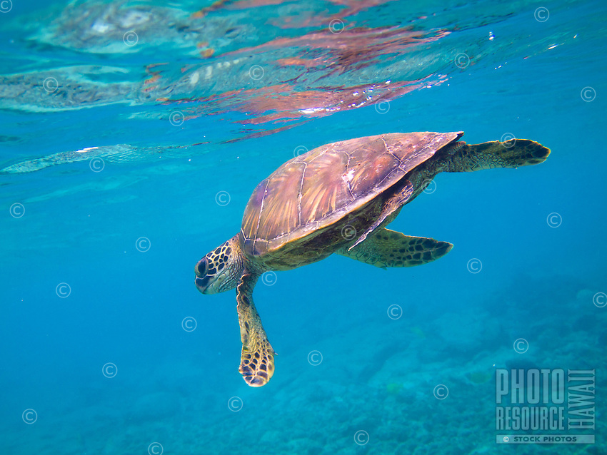 A green sea turtle swims near Kahalu'u Beach Park, Big Island.