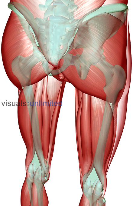 A posterolateral view (right side) of the musculoskeleton of the pelvis and lower limbs. Royalty Free