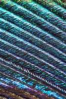 Feder, Schwanzfeder eines Pfau, Pavo cristatus, farbenprächtige Lichtreflexionen, Vergrößerung unter dem Binokular, Stereolupe, Lupe, Mikroskop