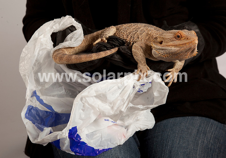 **ALL ROUND PICTURES FROM SOLARPIX.COM**                                             **NO UK NEWSPAPER PUBLICATION**.**UK MAGAZINE & SUPPLEMENT PUBLICATION ONLY** AND NO PUBLICATION IN AUSTRALIA, BELGIUM, FRANCE, GERMANY, ITALY, SCANDINAVIA AND USA**                                                                                  Caption: This is Brian a bearded dragon who was found dumped in a Tesco carrier bag in Buckinghamshire at the weekend. .The large reptile was discovered by a man walking his dog in Aylesbury on saturday and taken to St Tiggywinkles wildlife hospital in Haddenham, Bucks..Les stocker, founder of St Tiggywinkles said - If Brian hadn't been found on Saturday he would have most likely died from the freezing weather. He's a lovely friendly chap and has enjoyed a weekend of pampering in the warm at the hospital. - Brian will now be adopted by a member of St Tiggywinkles staff. Buckinghamshire, UK. 1 February 2011.This pic: Bearded Dragon                                                                                                        JOB REF: 12742  SFE       DATE: 01_02_2011                                                           **MUST CREDIT SOLARPIX.COM OR DOUBLE FEE WILL BE CHARGED**                                                                      **MUST AGREE FEE BEFORE ONLINE USAGE**                               **CALL US ON: +34 952 811 768 or LOW RATE FROM UK 0844 617 7637**