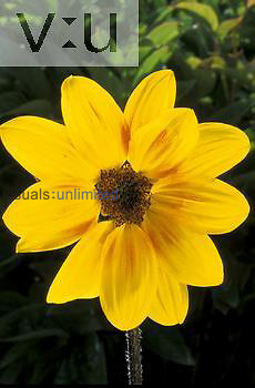 (Rudbeckia) Rustic Colors