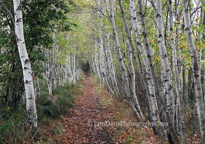 Acadia Birch Path  #A82