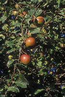 Apples on the tree Malus domestica fruit growing ripe