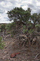 Rusting tin cans and gnarled sagebrush, at the site of the one-time railroad town, now ghost town, Cobre, Nevada.  Cobre was established in 1906 - in 1907 sagebrush, also known as big sagebrush, became the Nevada State Flower.