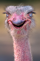 562703013 portrait of a captive zoo animal ostrich struthio camelus at the los angeles zoo native to sub-saharan africa
