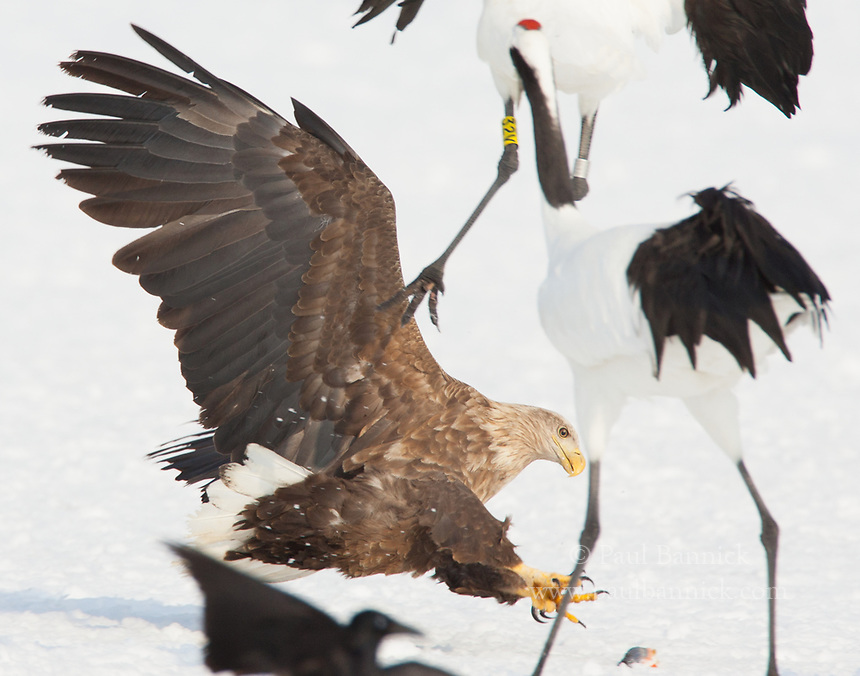 A White-tailed Sea Eagle steals a fish from Red-crowned Cranes.