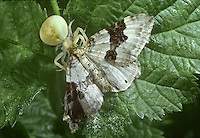 Crab Spider - Misumena vatia with silver ground carpet