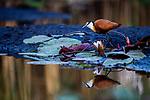 African Jacana (Actophilornis africanus), Mudumu National Park, Namibia