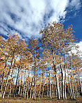 A grove of aspen tree begin the color change as fall approaches.