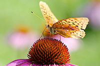 Variegated Fritillary (Euptoieta claudia) on coneflower, Community Garden, Yarmouth, ME, USA